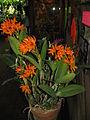 Guarianthe aurantiaca1.jpg