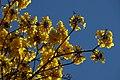 Guayacán amarillo (Tabebuia chrysantha) (14556969847).jpg
