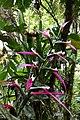Guzmania wittmackii (Bromeliaceae) (29883211533).jpg