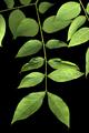 Gymnocladus dioicus 002.png