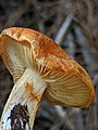 Gymnopilus sapineus 60978717.jpg