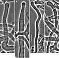 Gymnopus perforans transatlanticus (10.3897-mycokeys.18.10007) Figure 40.jpg