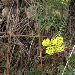 H20130318-7048—Lomatium caruifolium—Mitchell Canyon (8586535007).jpg