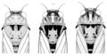 HEMI Cicadidae Kikihia cutora cumberi laneorum subalpina.png