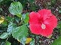 HK ML 香港半山區 Mid-levels 雅賓利道 Albany Road flora red flowers April 2020 SS2 02.jpg