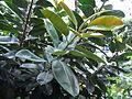 HK Sheung Wan Upper Lascar Row rain tree 印度橡膠樹 Ficus elastica June-2012.JPG