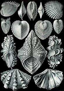 Haeckel Acephala.jpg