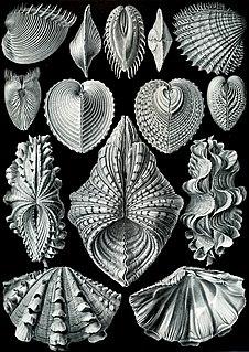 Bivalvia class of molluscs