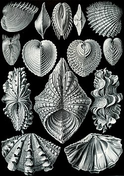 """Acephala"" iz knjige Artforms of Nature(Ernst Haeckel, 1904.)"