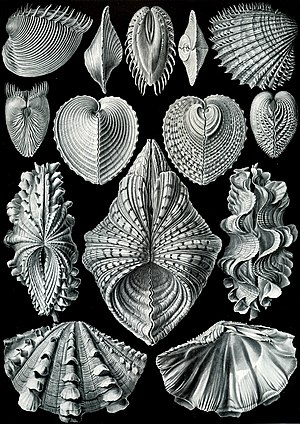"Bivalvia - ""Acephala"", from Ernst Haeckel's Kunstformen der Natur (1904)"