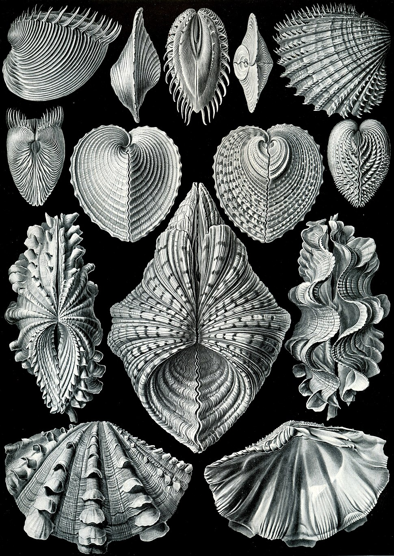 "Ernst Haeckel's ""Acephala"""