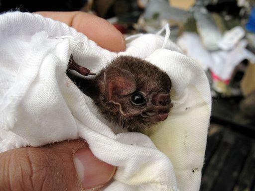 Hairy-legged vampire bat, Diphylla ecaudata