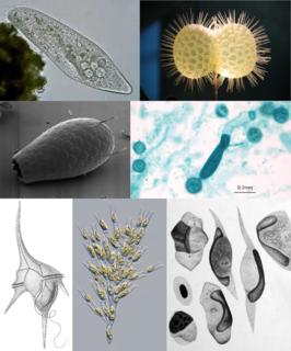 SAR supergroup eukaryotes supergroup