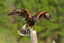 Harriss Hawk Wikipedia