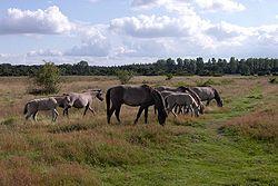 Des chevaux de Heck, en semi liberté, en Allemagne