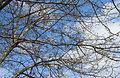 Hawthorn in Seven Springs.jpg
