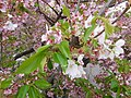Hazakura, Cherry Blossom with Green Leaves Apr. 2, 2021.jpg