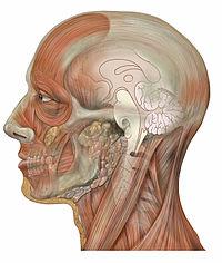 Head lateral sagittal brain.jpg