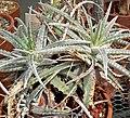 Hechtia marnier-lapostollei 1.jpg