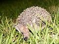 Hedgehog2 cyprus hg.jpg
