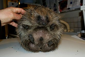 Hedgehog - Hedgehog suffering from balloon syndrome before deflating