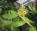 Hedychium gardnerianum 07.jpg