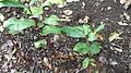 Hedychium greenii-2-bsi-yercaud-salem-India.JPG