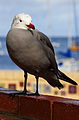 Heermann's Gull at Avalon Harbor (Explored).jpg