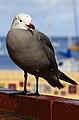 Heermann's Gull at Avalon Harbor (Explored).jpg
