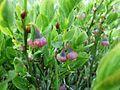Heidelbeerblüten 503.JPG