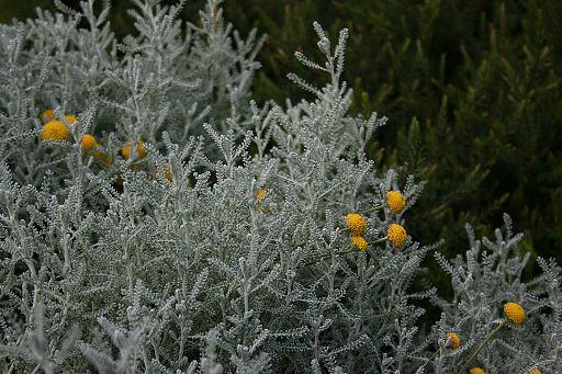 Heiligenkraut (Santolina chamaecyparissus L.)