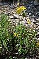 Helianthemum nummularium inflorescence (23).jpg