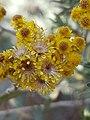 Helichrysum splendidum05.jpg