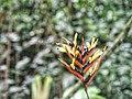 Heliconia burle.jpg