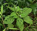 Heliotropium indicum (29601557271).jpg