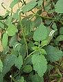 Heliotropium indicum 07.JPG