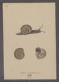 Helix arbustorum - - Print - Iconographia Zoologica - Special Collections University of Amsterdam - UBAINV0274 089 01 0021.tif
