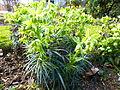 Helleborus foetidus in Jardin des Plantes 02.JPG