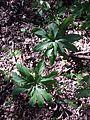 Helleborus odorus sl3.jpg