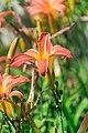 Hemerocallis Neyron Rose in Jardin botanique de la Charme 06.jpg