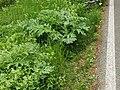 Heracleum mantegazzianum (14024855939).jpg