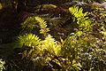 Herbstfarne am Würmseeweg im LSG Forst Rundshorn IMG 3102.jpg