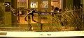 Herrerasaurus ischigualastensis - IMG 0657.jpg