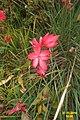 Hesperantha coccinea 'Major' (SG) (33030365985).jpg