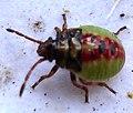 Heteroptera- Elasmostethus interstinctus (2763117305).jpg