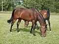 Hevoset kesälaitumella 11.jpg