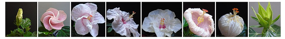 Hibiscus Flower's Life Cycle Stages