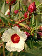 150px hibiscus sabdariffa (1)