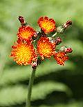 Hieracium aurantiacum at Ely Eagles Nest IMG 0793 orange hockweed.JPG