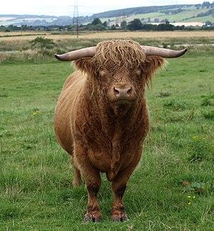 Bull - A Scottish Highland bull